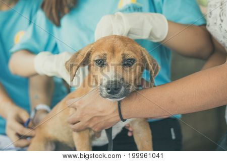 Doctors Making Anesthesia Procedure To Puppy Dog In Veterinarian Clinic Outdoors In Asia, Bali Islan