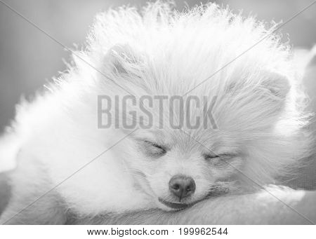 Summer day. A dog a puppy of a Pomeranian dog sleeps in the hands of a male owner. Control lighting - the sun in the frame. Black - white image