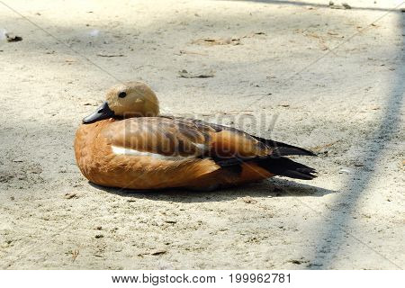 Beautiful brown duck in the Park in summer