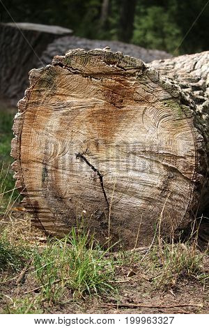 Trunk of tree cut and laid on the ground