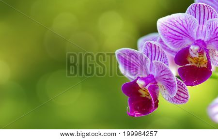 Macro shot of a pink orchid isolated on blur green background. Flowers background.