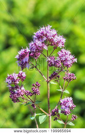 Wild herb Oregano (lat. Origanum vulgare). Flowering plant closeup