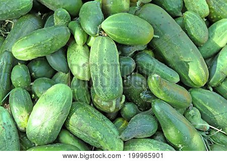 Cucumbers. Cucumber harvest. Many green cucumbers. Cucumber background