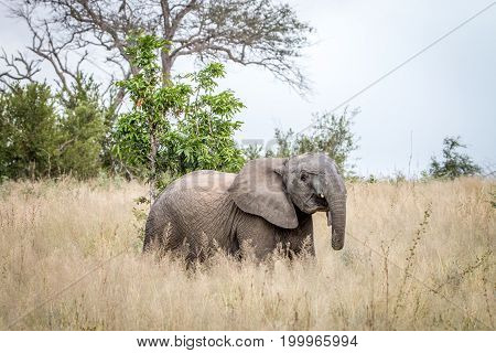 An Elephant Walking In The Grass.