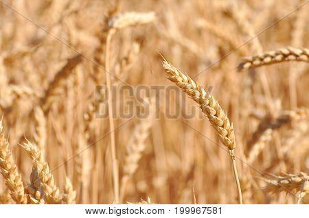 Field of ripe wheat background. Ears of ripe wheat in a field close up