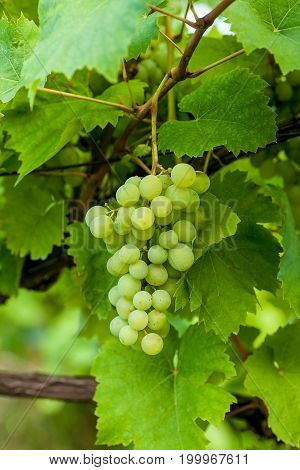 Bunch of grapes on a vine in the sunshine. The winegrowers grapes.