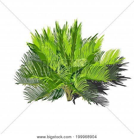 Young cycas with a shadow the color vector image on a white background