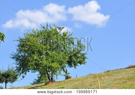 Lonely apple tree in the field. Single tree with ripe apples