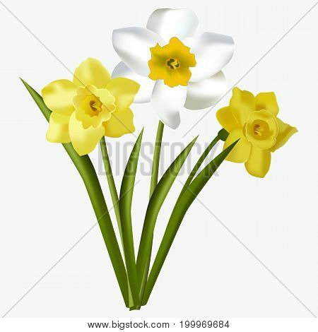 Spring floral beautiful fresh daffodils flowers isolated on white background. Daffodils flower green narcissus blossom blooming easter garden flora vector illustration.