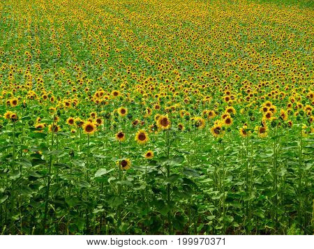 Rural Scene - Field of sunflowers in Italy