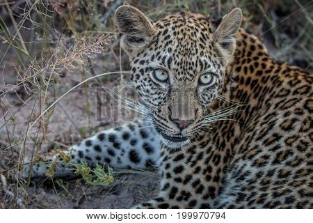 Close Up Of A Young Female Leopard.