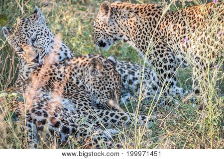 A Mother Leopard Playing With Her Cubs.