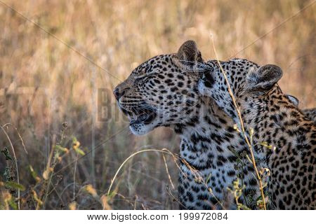 Two Leopards Bonding In The Grass.
