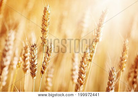 wheat crops on the field at cloudy day