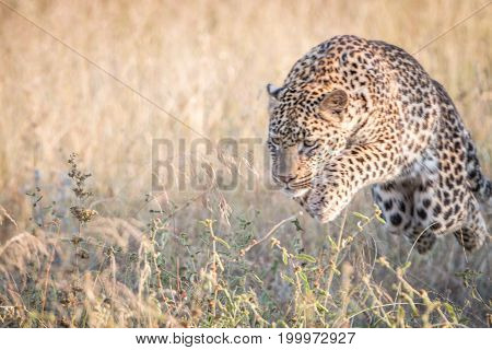A Leopard Jumping In The Grass.