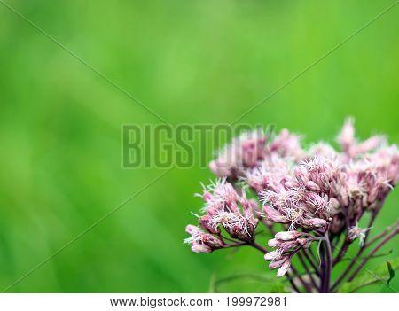 Macro view of Joe pye weed bloom against bright green background.