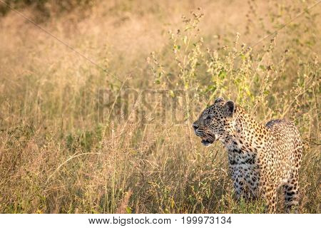 Side Profile Of A Leopard In The Grass.