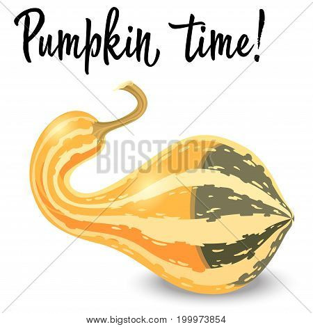 Oblong striped pumpkin isolated on white background. Vector