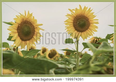 Vintage form of flowering sunflowers close-up. Retro background for any theme