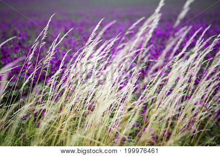 closeup of grass in the wind with purple flowers in the background