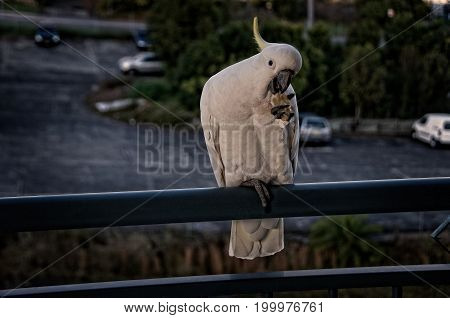 Australian Sulphur Crested Cockatoo close-up feeding on a balcony rail with crest on display. Gosford New South Wales Australia. photograph by Geoff Childs.
