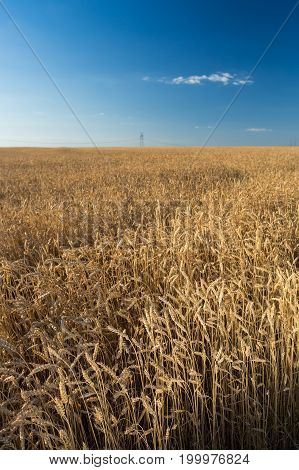 agriculture, freedom, nature concept. wonderful picturesque panorama of the gold field of ears and almost cloudless blue immense sky under it. and in the distance there are power lines
