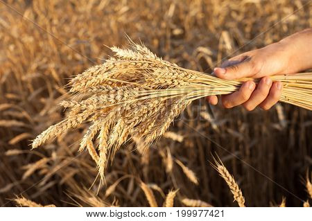 environment, crop, country lifestyle concept. in light of the rising sun caucasian man harvesting mellow wheats of royal yellow barley with big heavy grains