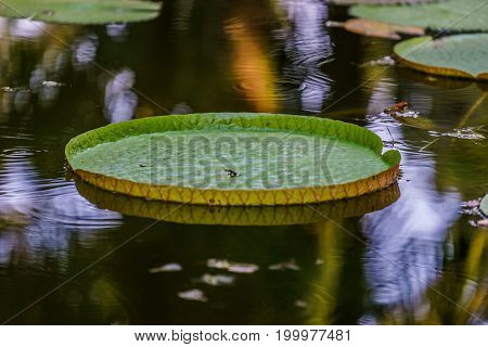 Water Lily Victoria amazonica or Victoria Regia on the background of water