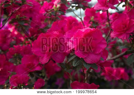 Azalea flower blooming on the springtime in park