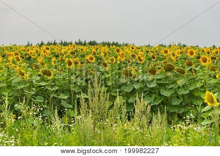 Field of sunflowers, a source of vegetable oil with amazing healing properties. High beautiful organic sunflower on the farm field. Natural floral summer background on different topics
