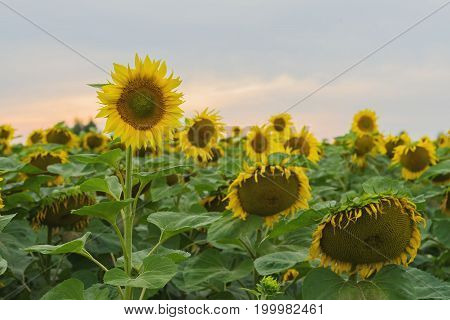 Field of farm sunflowers against the backdrop of the sunset in the August evening after the rain. Beautiful summer background on different topics