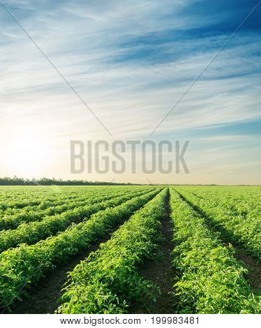 sunset over agriculture field with tomatoes