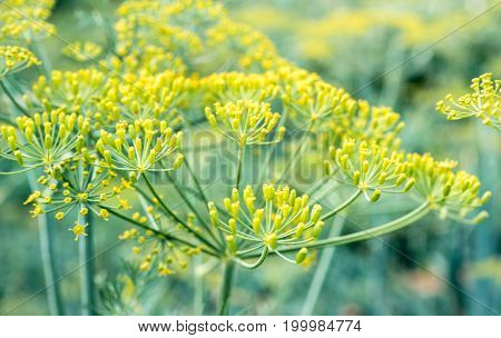 Fennel seed blossom inflorescence anethum vegetable branch ingredient recipe background