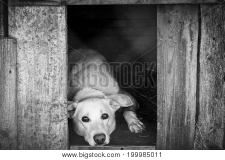 A sad white dog lies on the floor in his booth. Black and white photo.