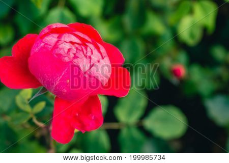 Centifolia red rose with defocused foliage. Natural flower. Soft focus. Copy space. Free place for text. One blossoming red rose. Open rose for card. Vintage look