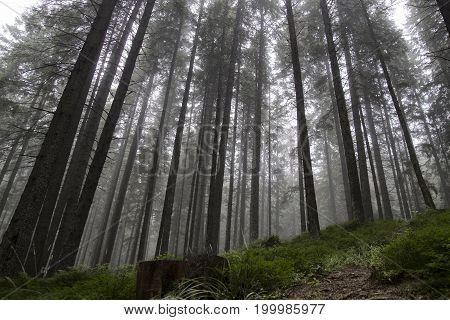 Beautiful Forest in the fog a lot of long trees