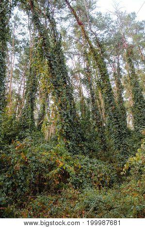 Deep Autumn Pine Forest With Warm Sunlight Illuminating Green Foliage.