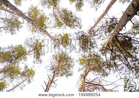 Scenic View Of Very Big And Tall Tree In The Forest In The Morning. Looking Up.. Forest Woods.