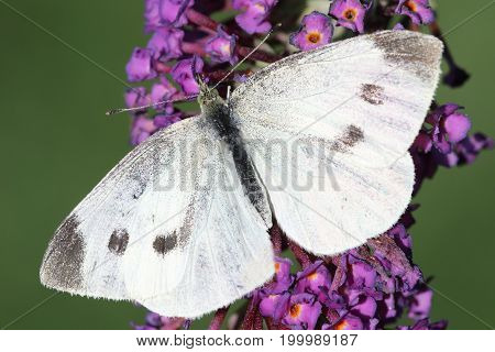 Cabbage White (Pieris brassicae) Butterfly on Butterfly Bush Flowers