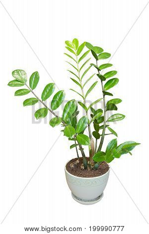 Zamioculcas home plant in a flower pot isolated on white