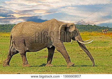 Elephant walking across the african plains in the masa mara with a dramatic sky