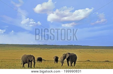 Herd of elephants on the Open African Plains i the Masai Mara Kenya
