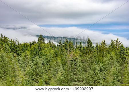 Green Pine Forest And Distant Tree Covered Mountain Covered In Patches By Thick White Fog