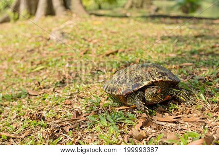 Red eared slider turtle doing a face palm on grassy bank.