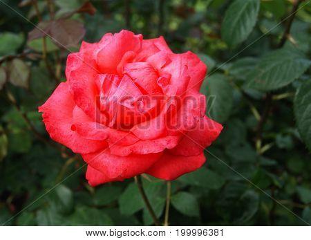Single red rose on dark green background in the garden