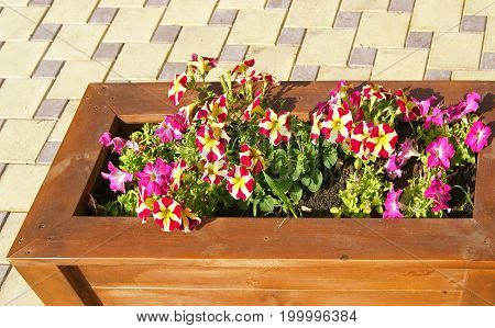 City street decoration with bright petunia flowers in wooden box