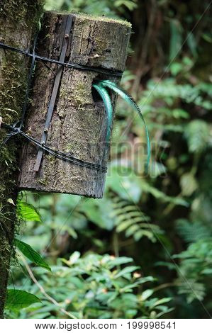 Quetzal birds tail wild in Monteverde cloud forest reserve Costa Rica