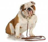 dog on a leash - english bulldog sitting wearing leash and collar poster