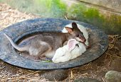 The newborn kangaroo sleeps in a plate together with a rabbit. poster