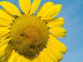 Yellow Sunflower closeup against a blue cloudless sky. poster